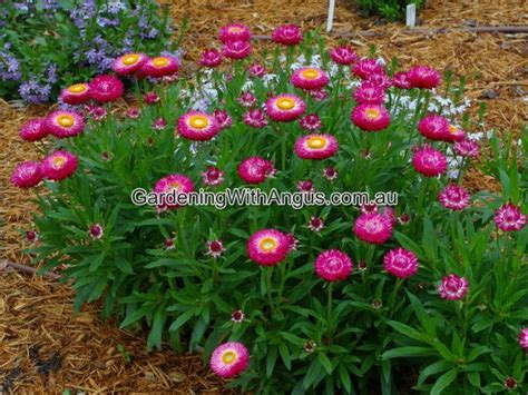 flowers in australian gardens best australian plants for pots and containers