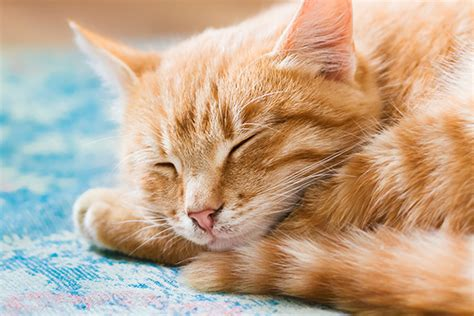 Sleeping Orange Cat the orange tabby cat 8 facts catster