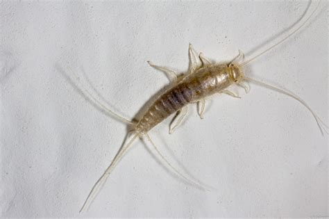 flat silver bugs in bathroom silverfish bug what it is and what it can do to you