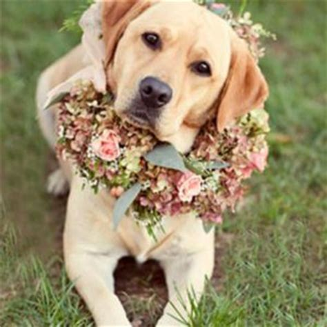 what were golden retrievers bred for how labrador retrievers were bred merry photo