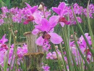 Tanaman Hias Anggrek Tanah Ungu koleksi gambar berbagai macam bunga anggrek