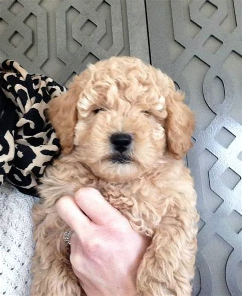 goldendoodle puppies for sale sacramento goldendoodle puppy california goldendoodle puppy for sale