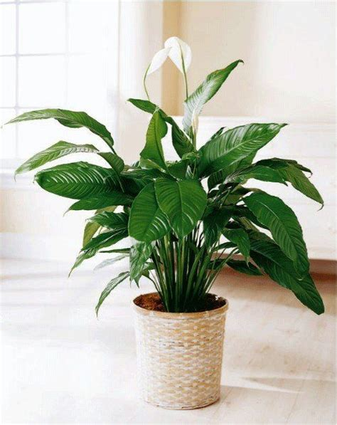 peace lily ideas  pinterest  indoor