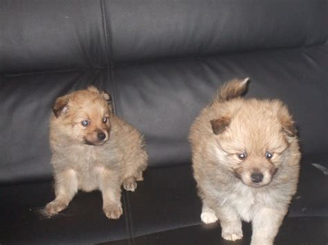 pomeranian puppies for sale uk pomeranian puppies for sale wigan greater manchester pets4homes