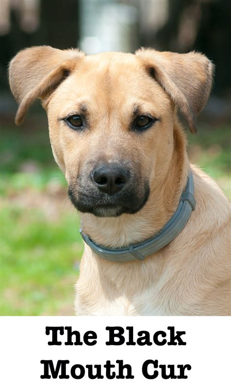 black cur the black cur a complete guide to the breed