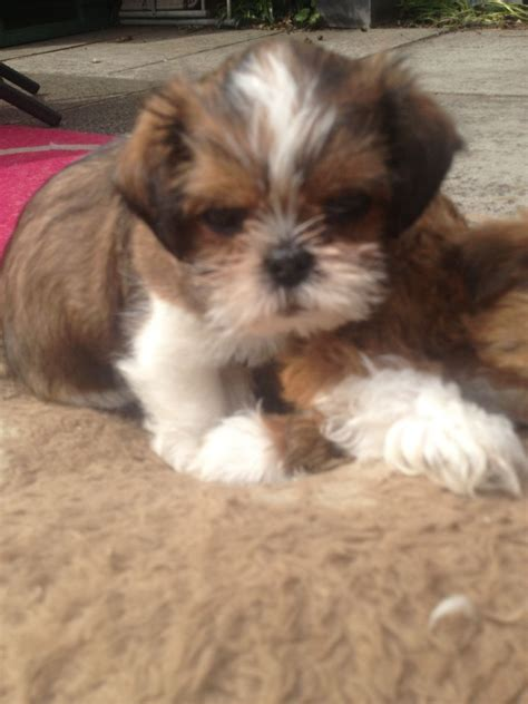 shih tzu cross puppies for sale 1 boy left shih tzu cross puppies for sale manchester greater manchester pets4homes