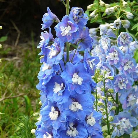 Dompet Flower Cf S 223 7 180pcs flower seeds delphinium summer skies perennial beautiful plant garden ebay