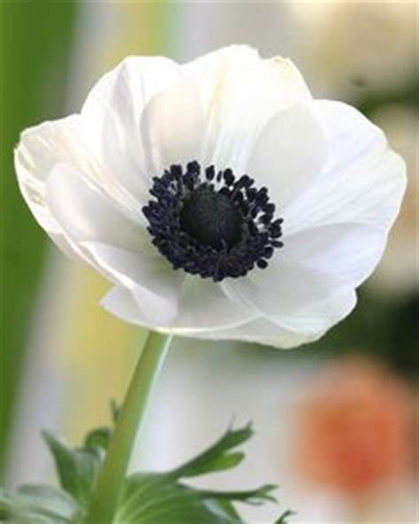 1000 ideas about white anemone on pinterest anemone