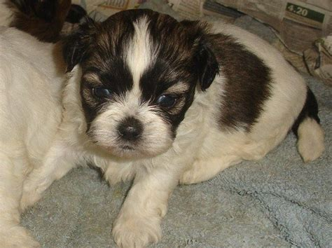shih tzu puppy price adorable shih tzu puppy boy reduced price tamworth staffordshire pets4homes