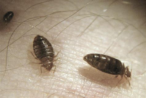 photo of bed bug bed bugs move into cus libraries the sheaf the