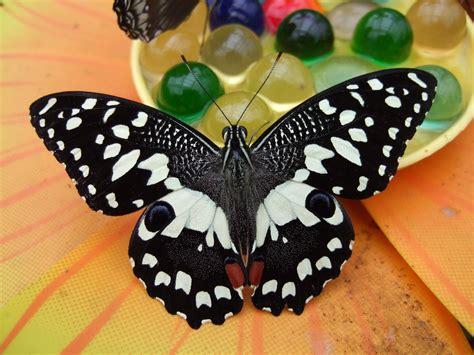 farfalle in casa farfalle bordano