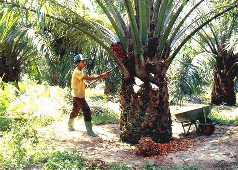 Bibit Kelapa Sawit cara mudah membuat bibit kelapa sawit