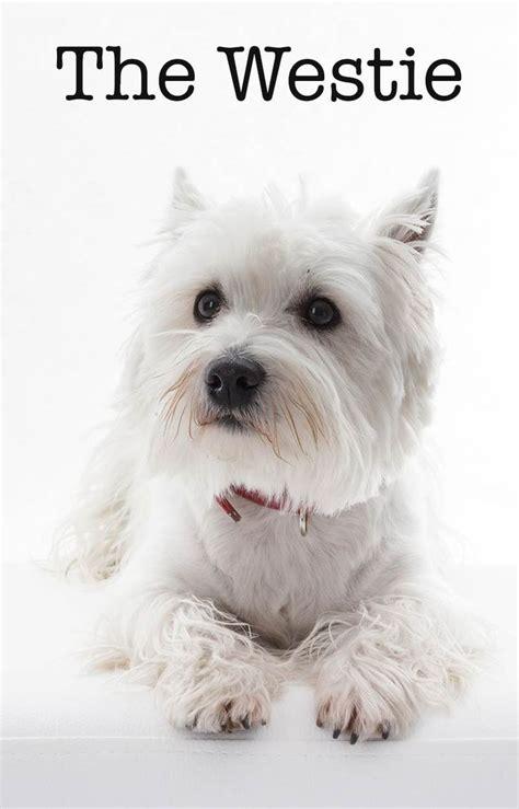 get westies hair white 1365 best westie love images on pinterest doggies west