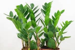 Aglaonema zamioculcas zamioculcas zamiifolia