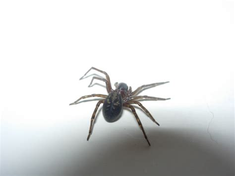 are house spiders dangerous common poisonous house spiders