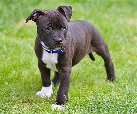 staffordshire terrier puppy harvey the staffordshire bull terrier puppies daily puppy