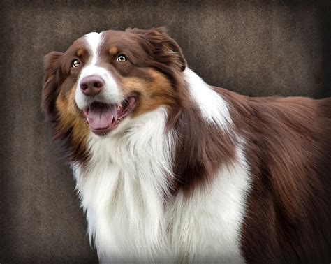 brown and white brown and white border collie photograph by ethiriel photography