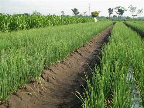 teknis pemupukan tanaman bawang merah pertanian