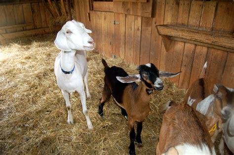 nebraska goats tips resources for raising goats