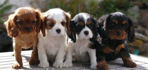 blenheim color cavaliers all four colors ruby blenheim tri black