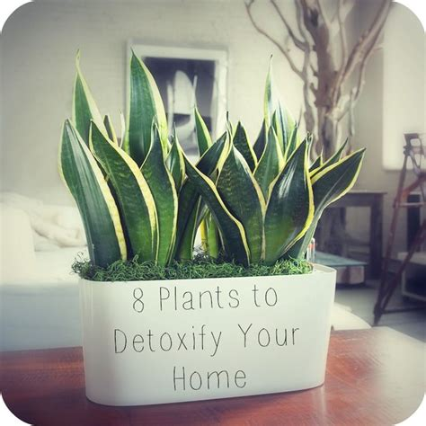 Detox Plants by Tired Of Breathing Toxic Pollution In Your Home And Office