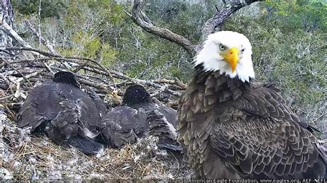 aef nefl eagle cam 2 1 18 intruder alert youtube