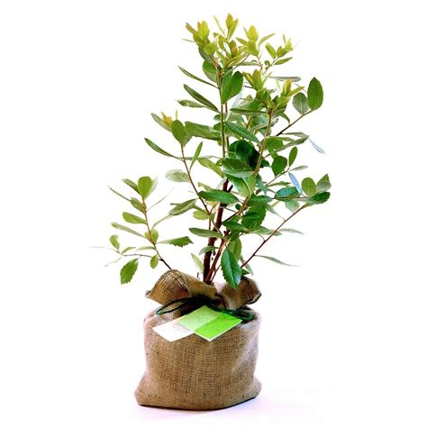 tree gifts strawberry tree gift by trees direct eco gifts