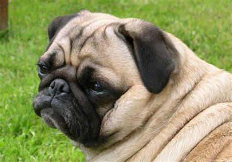 raza pug galer 237 a de im 225 genes raza de perros pug