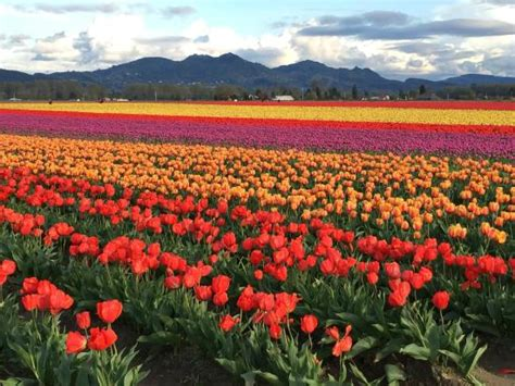 Roozengaarde Display Garden by Tulips And Cascade Mountains Foto Di Roozengaarde