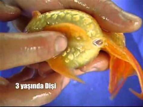 Pakan Ikan Hias Koki dunia binatang cara budidaya ikan hias koki 100 work