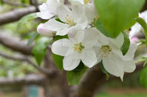 cluster exeter 9 tree apple blossom cluster with tree by lucylovesleather on deviantart