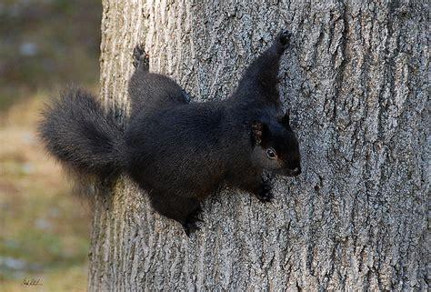 Invasion Of The Ninja Squirrels Fish Bicycles Black Squirrel