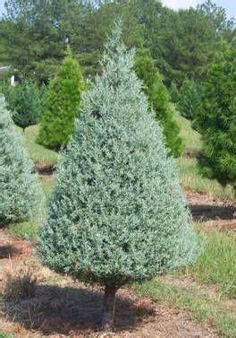 decorated blue arizona cypress arizona cypress landscaping avocado tree garden design and arizona