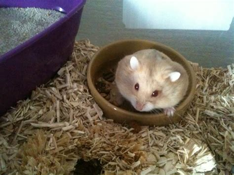 russian for sale baby russian hamster for sale nottingham nottinghamshire pets4homes