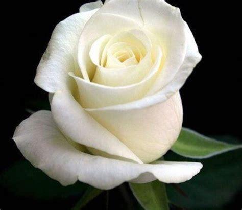 imagenes d erosas blancas the flower thinglink