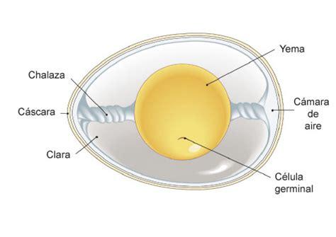q proteinas tiene el huevo nutrici 243 n 3 0 el huevo el tesoro oculto en una c 225 scara