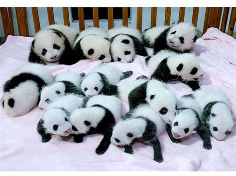 Panda Crib by Baby Pandas Sleeping In Crib In China Photo