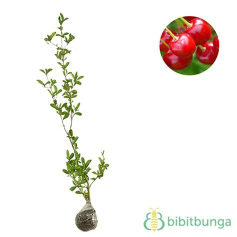 Tanaman Cherry Jepang 30 40cm tanaman cherry bibitbunga