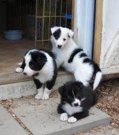 Puppies all day every day border collie puppies