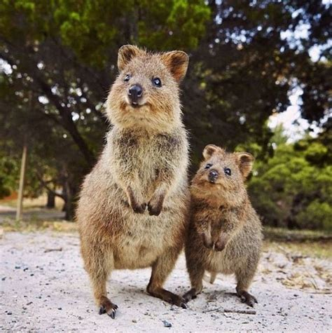 most adorable animals world falls in love with quokka australia s most adorable