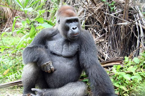 amazon rainforest animals gorilla congo slideshow male silverback gorilla