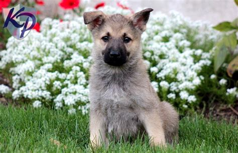 german shepherd lab mix puppies german sheprador puppies for sale in pa breeds picture