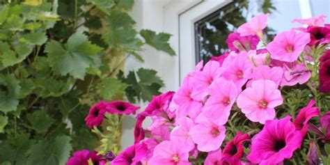 gelsomini in vaso gerani petunie e gelsomini in vaso rigogliosi in tre