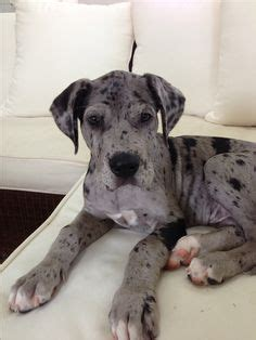 great dane bullmastiff mix puppies for sale 1000 images about mastidane great daniff on