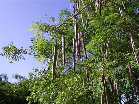 Teh Moringa minyak gaz moringa the miracle tree a line