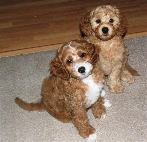 cost of labradoodle puppy labradoodle dogs hi res 720p hd