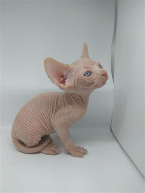 Sphynx Kittens For Sale Offer