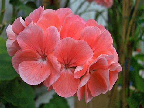 imagenes flores simples im 225 genes de flores y plantas geranio