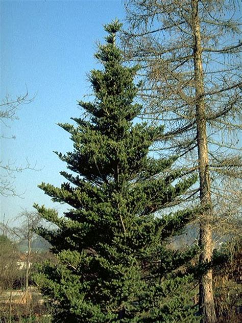koreatanne weihnachtsbaum koreatanne abies koreana hauenstein rafz