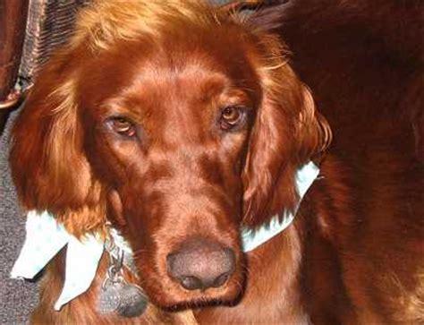 puppy congestion sinus problems best pet home remedies
